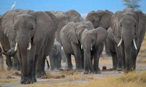 (VIDEO) Elefantes arrasan con todo, menos con planta tenía nido de polluelos