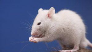 Desarrollan un implante que programa ratones para que interactúen socialmente