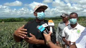 Productores de piña de Don Juan, Monte Plata, denuncian pérdidas millonarias