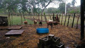Cuatreros descuartizan 15 ovejos en Guayabo Dulce de Hato Mayor