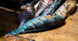 El Gobierno prohíbe la captura de pez loro, cotorra, anguila y otros animales