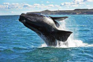 Las ballenas francas están menguado de tamaño en los últimos 40 años