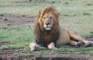 """Muere """"Scarface"""", el léon más famoso de Kenia"""