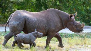 Nace un rinoceronte en un zoológico de Florida que busca recuperar la especie