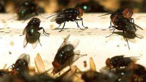 Residentes en La Vega piden a Salud Pública intervenir plaga de moscas