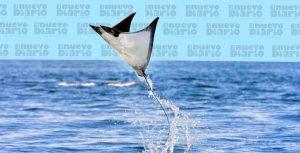 (VIDEO) Captan mantarrayas voladoras en el mar Caribe