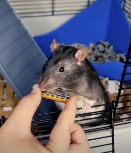(VIDEO) Una rata toca la armónica y se convierte en la sensación de Tik Tok