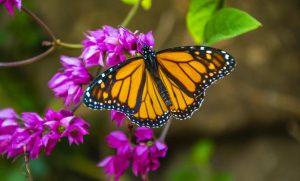 Las mariposas en peligro de extinción, ¡Ayuda a salvarlas!